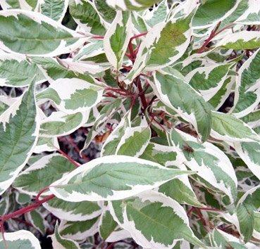 Дёрен белый Elegantissima (Argenteomarginata)
