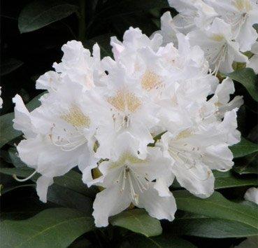 Рододендрон Cunningham's White