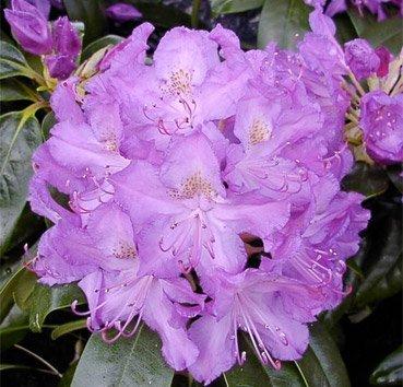 Рододендрон Purpureum Grandiflorum