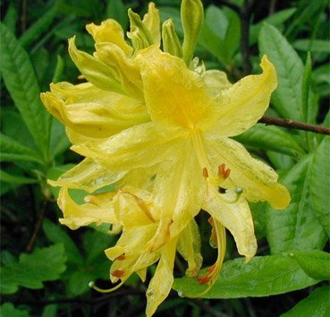 Рододендрон якушиманский Yellow