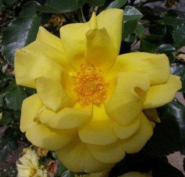 Роза бордюрная All Gold