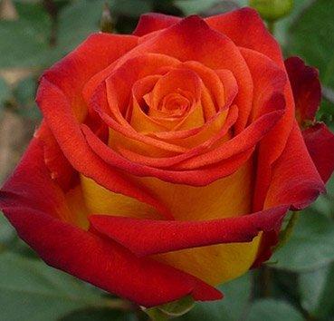 Роза бордюрная Circus