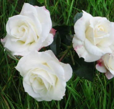 Роза бордюрная Glacjer