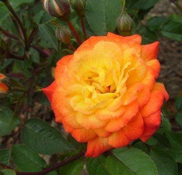Роза бордюрная Sun Maid