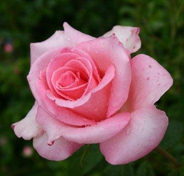 Роза бордюрная Sylvia