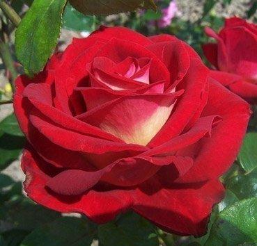 Роза чайно-гибридная Bicolette