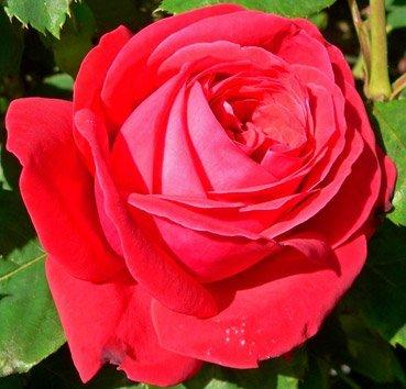 Роза чайно-гибридная Dame de Coeur