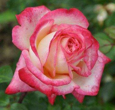 Роза чайно-гибридная Dessa