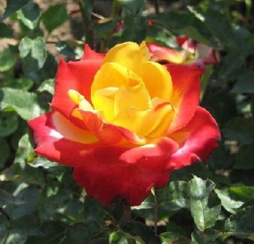 Роза чайно-гибридная Giscours