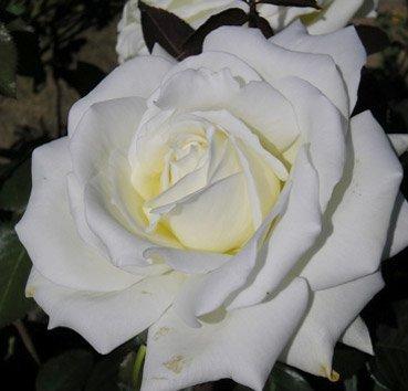 Роза чайно-гибридная Ice Cream