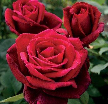 Роза чайно-гибридная Mr. Lincoln