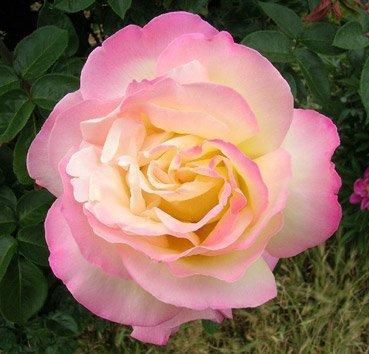 Роза чайно-гибридная Peace