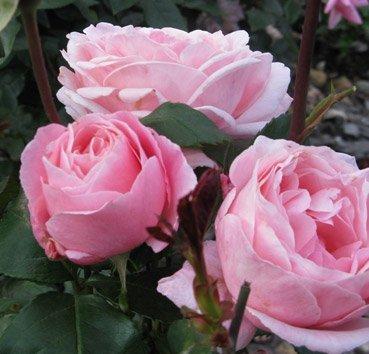 Роза чайно-гибридная Queen of England