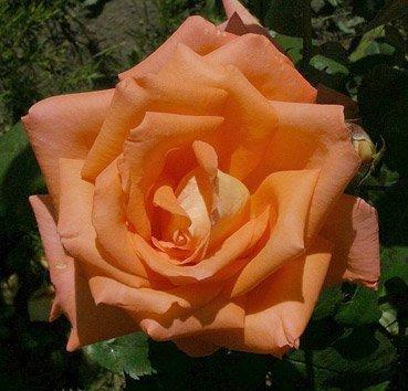 Роза чайно-гибридная  Sea Pearl