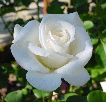 Роза чайно-гибридная Virgo