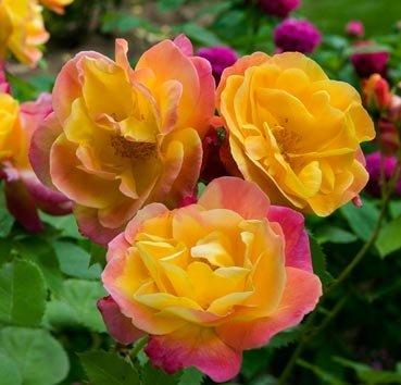 Роза парковая Joseph's Coat