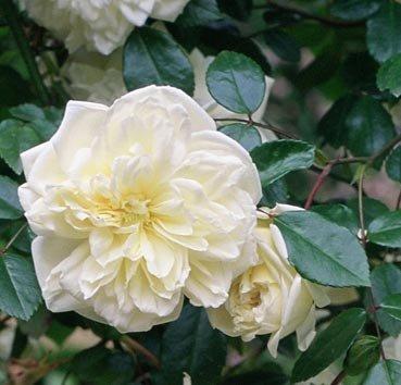 Роза парковая Alberic Barbier