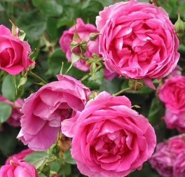 Роза плетистая Pink Cloud