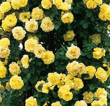 Роза плетистая Royal Gold