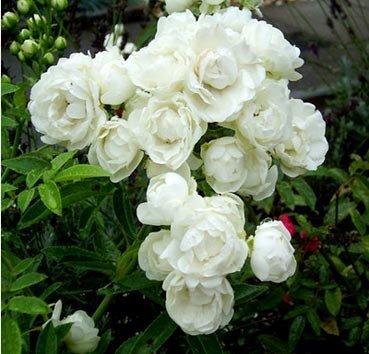Роза миниатюрная Morstag Wit