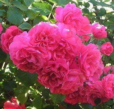 Роза миниатюрная The Fairy Pink