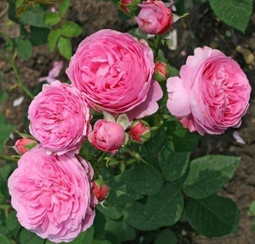 Роза английская Mme de Stella