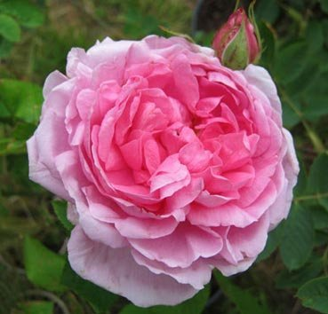 Роза английская Comte de Chambord