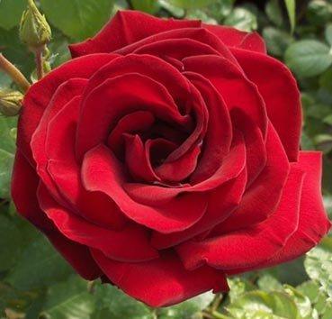 Роза парковая Abraxas