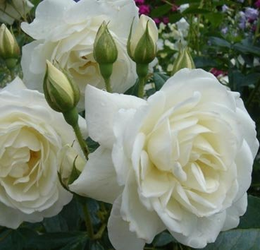 Роза плетистая Camelia
