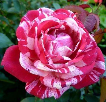 Роза бордюрная Image