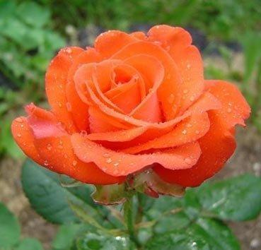 Роза чайно-гибридная Rotary