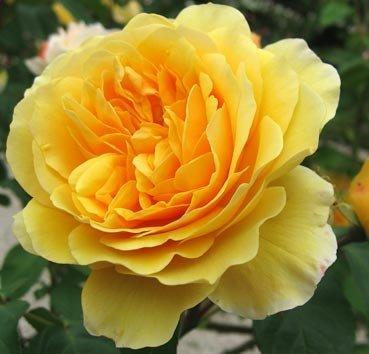 Роза английская ŻÓŁTA