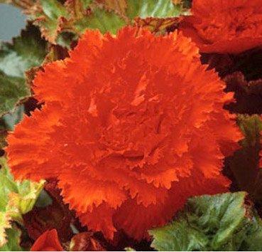 Бегония бахромчатая Fimbriata Orange