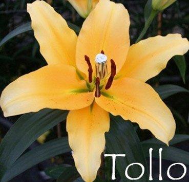 Tollo (OT)