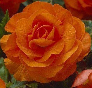 Бегония махровая (пионовидная) Double Orange