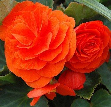 Бегония непрерывноцветущая Non Stop Orange