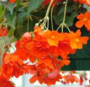 Бегония каскадная (ампельная) душистая Illumination Orange