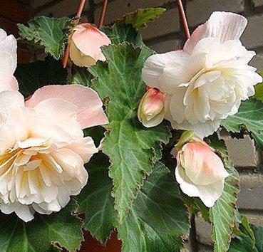 Бегония каскадная (ампельная) душистая Cascade Odorosa White