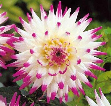 Георгина Cactus  Hayley Jane