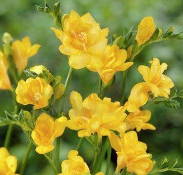 Фрезия махровая Double Yellow