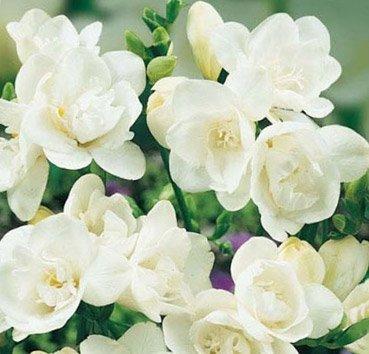 Фрезия махровая Double White