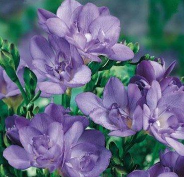 Фрезия махровая Double Blue