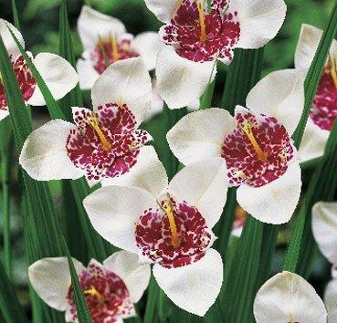 Тигридия Alba Grandiflora