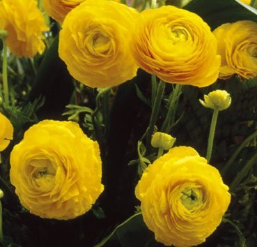Лютик махровый Ranunculus Aviv Yellow