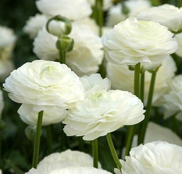 Лютик махровый Ranunculus Aviv White