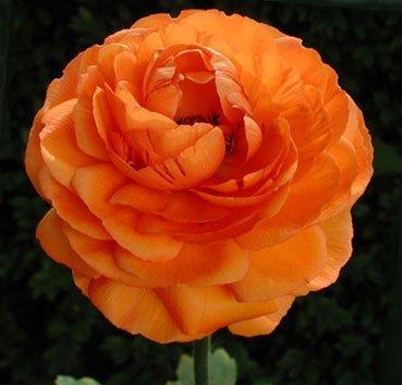 Лютик махровый Ranunculus Aviv Orange