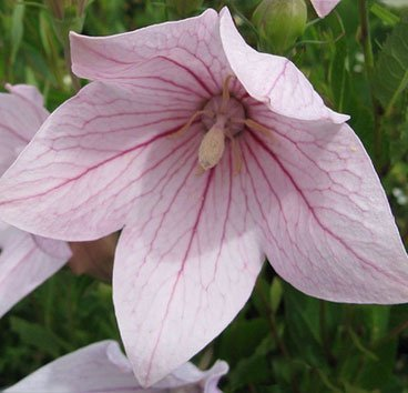 Ширококолокольчик (платикодон) Pink
