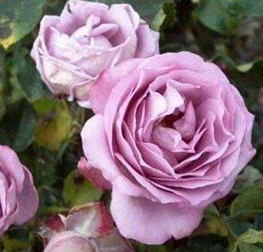 Роза плетистая Lavender Perfum