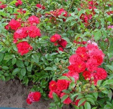 Почвопокровная роза Rote The Fairy
