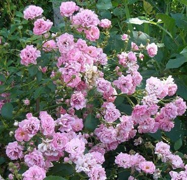 Почвопокровная роза The Fairy